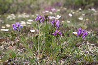 Alpine milkvetch and mountain avens blossom the spring tundra in Alaska's Arctic.