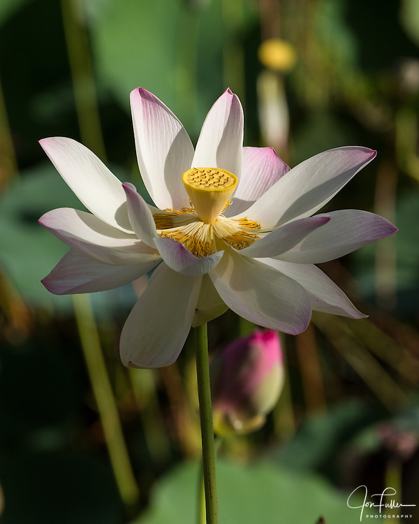 Lotus flower, Nelumbo nucifera, in the Georgetown Botanical Gardens, Georgetown, Guyana.  The lotus flower comes originally from India and is considered sacred to the Hindus and Buddhists.