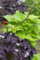 Ipomoea 'Sweet Caroline Green' with purple shamrocks Oxalis triangularis in pots