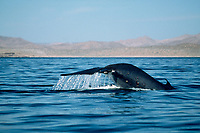 fin whale, Balaenoptera physalus, fluke up dive sequence, Sonora, Mexico, northern Sea of Cortez, Pacific Ocean