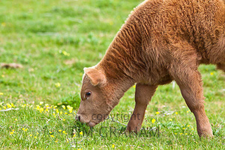Young brown calf grazing in buttercup meadow, County Clare, West of Ireland