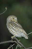 Elf Owl, Micrathene whitneyi, adult, Madera Canyon, Arizona, USA, May 2005