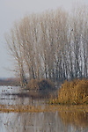 Barren trees in winter wetland pond, Merced National Wildlife Refuge, Central Valley, California