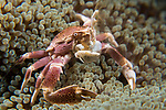 Lembeh Strait, Indonesia; a Porcelain Crab collecting food from the water column while perched on a carpet anemone