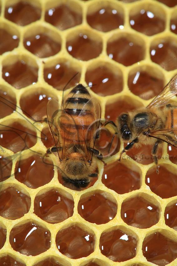 Bees on a frame full of honey.
