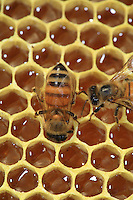 Bees on a frame full of honey.