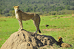 Guepardos en Massai Mara