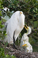Great Egret - Ardea alba - adult feeding chicks