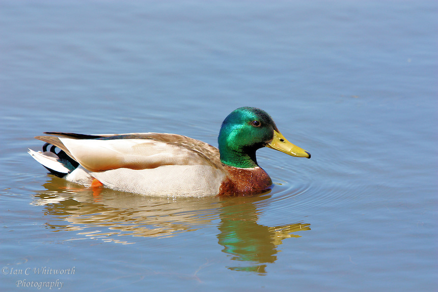 A solo male Mallard duck paddles through the water