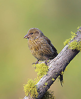 Red crossbill juvenile perched on a mossy snag waiting for its parents to bring food.<br /> Sleeping Lady Resort, Leavenworth, Washington<br /> 6/7/2010