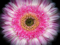 Close up of Gerbera flower