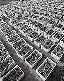 GREECE, Santorini, Oia, boxes of harvested grapes at Domaine Sigalas Winery in an area called Baxedes (B&W)