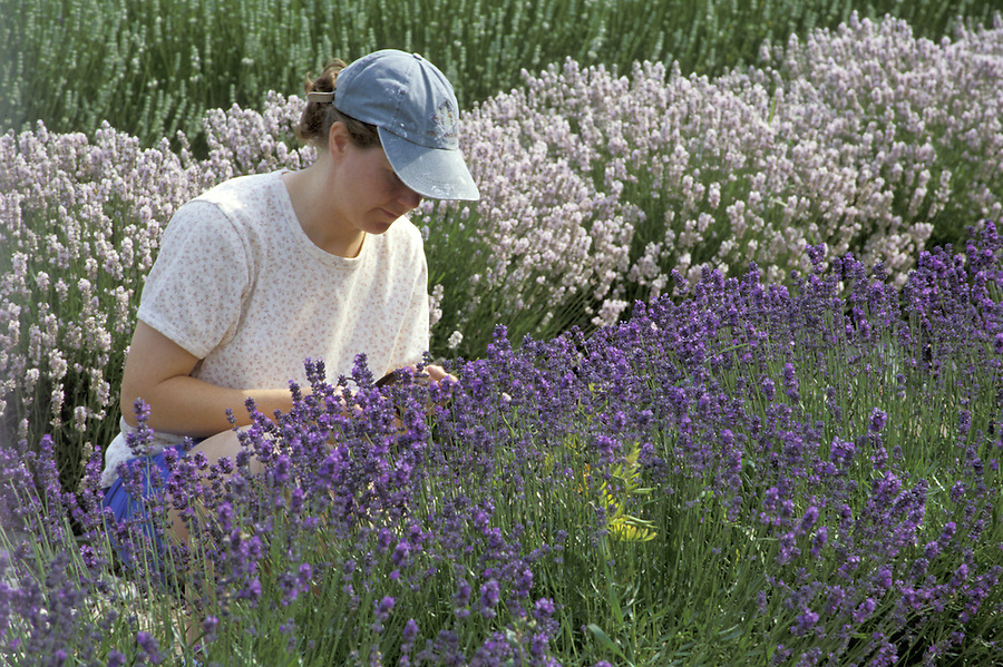 Woman cutting lavender, Sequim, Washington