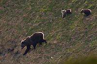 Wild European Brown bear (Ursus arctos), female with two yearling cubs walking down on steep slope. Western Tatras, Slovakia. June 2009. Mission: Ticha