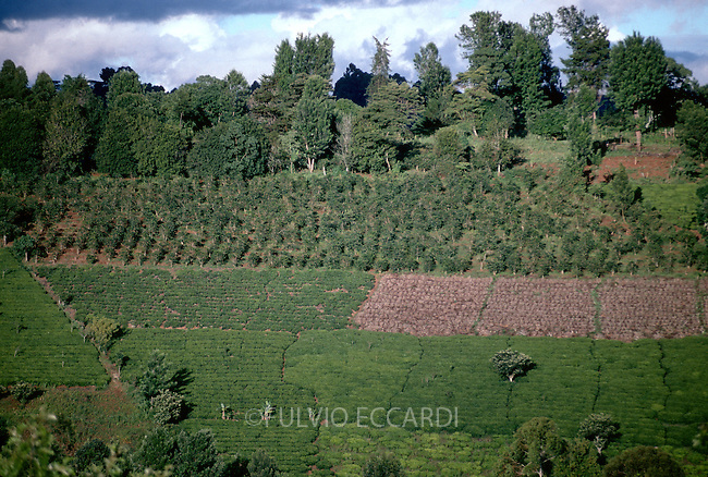 coffee, coffea, arabica, variety, plantation, plant, tree, bush, foliage, grow, organic, landscape, aerial