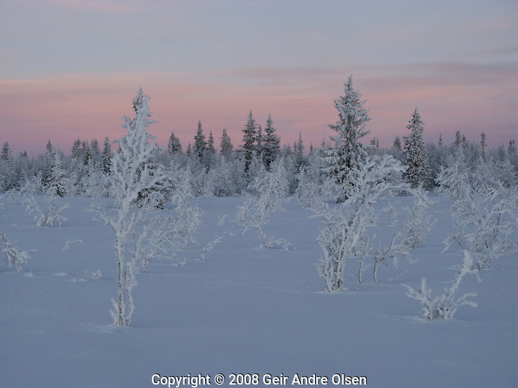 Snowy trees in sunset at Venabygdsfjellet in Norway at winter