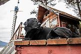 USA, Alaska, Homer, China Poot Bay, Kachemak Bay, a black lab sits on the dock at Kachemak Bay Wilderness Lodge