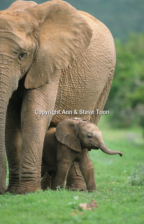 Elephant calf, Loxodonta africana, Addo National Park, Eastern Cape, South Africa