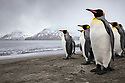 King Penguins (Mirounga leonina). St. Andrews Bay, South Georgia. November.