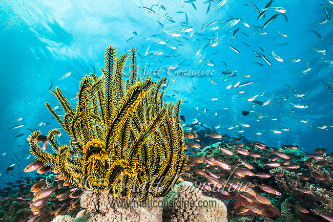 The Crinoid is an animal but looks like a plant. (Photo by Underwater Photographer Matt Considine)