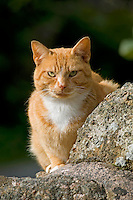 Ginger farm cat sitting on a stone wall, Cumbria.....Copyright..John Eveson, Dinkling Green Farm, Whitewell, Clitheroe, Lancashire. BB7 3BN.01995 61280. 07973 482705.j.r.eveson@btinternet.com.www.johneveson.com