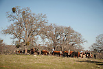 Late winter calf marking, branding and doctoring at the hilltop corral above the Busi Ranch in the Sierra Nevada Foothills of Amador County, Calif...Cattle and oaks