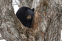 A black bear sow sits high in a cottonwood tree at its den in the Anchorage area of southcentral  Alaska   spring <br /> <br /> Photo by Jeff Schultz (C) 2016  ALL RIGHTS RESERVED