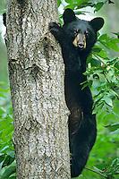 Older Black Bear cub (Ursus americanus) climbing tree.  Trees are often a place where black bears feel relatively safe.