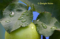 AT14-501z  Water Droplets on apple leaves and immature apple