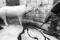 "The ""killing pork"" rite. The slow death of a throat cut pork."