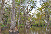 Honey Island Swamp with these unual knotted up tree among the cypress trees.