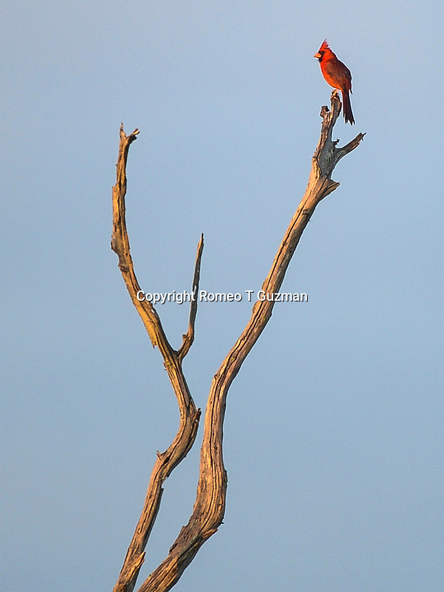 June 8, 2014: Northern cardinal (Cardinalis cardinalis) Orlando Wetlands Park Christmas, FL