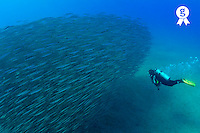 Diver looking at juveniles barracuda schooling- Red Sea, Egypt (Licence this image exclusively with Getty: http://www.gettyimages.com/detail/81865725 )