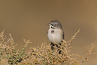 578830022 a wild sage sparrow amphispiza belli nevadensis perches on a sagebrush branch in kern county california