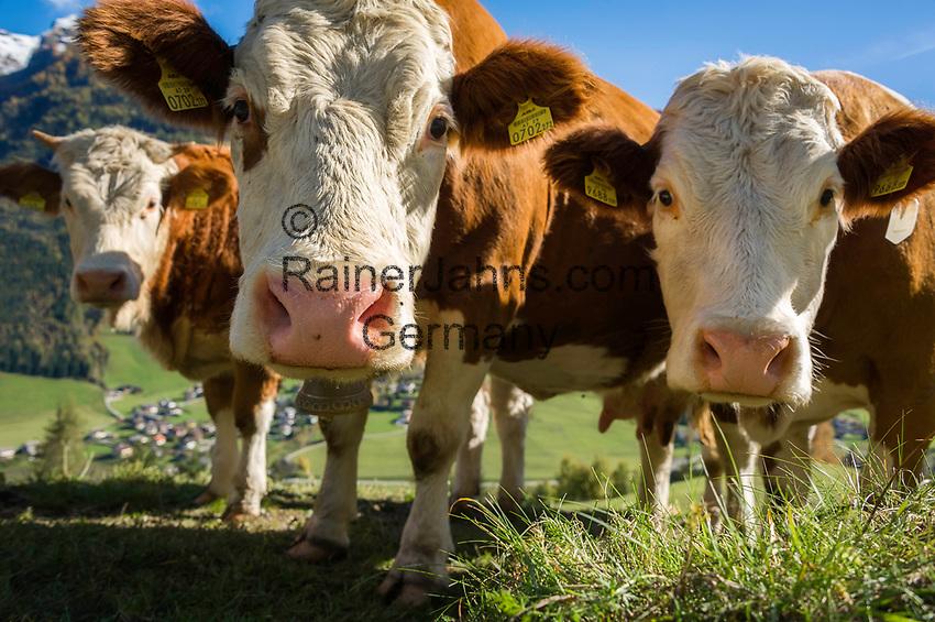 Oesterreich, Kaernten, Moelltal bei Grosskirchheim: neugierige Kuehe erkunden die Kamera des Fotografen | Austria, Carinthia, Valley Moelltal near Grosskirchheim: curious cows approaching the photographer's camera