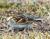 Male McCown's longspur in January