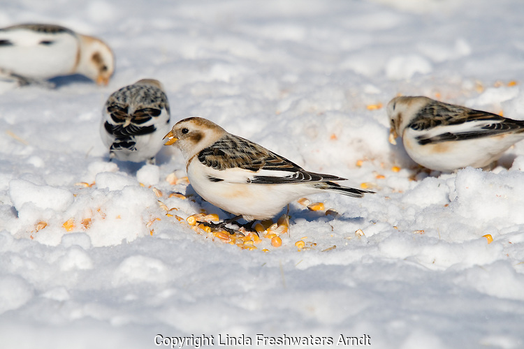 Snow buntings (Plectrophenax nivalis) in the snow eating corn