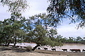 "Cattle going to Bulloo River to drink. ""Bulloo Downs"" station, near Thargomindah, outback Queensland."