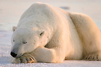 polar bear, Ursus maritimus, adult, male, resting on frozen lake near Churchill, northern Manitoba, Hudson Bay, Canada