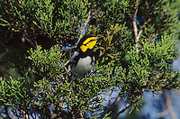 Golden-cheeked Warbler, Dendroica chrysoparia, male on Juniper Tree, San Antonio, Texas, USA, April 2003