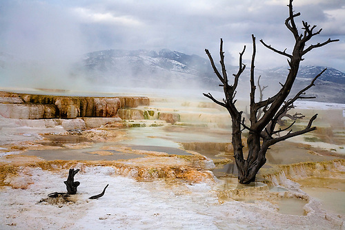 THE HOT WATERS OF MAMMOTH HOT SPRINGS OVERPOWER A TREE AT MAMMOTH HOT SPRINGS IN YELLOWSTONE NATIONAL PARK,WYOMING