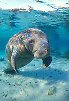 Manatee, Trichechus manatus, Crystal River National Wildlife Refuge, Florida