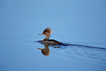 Hooded Merganser, Lophodytes cucullatus, female Canada, swimming in water, reflection, brown crest