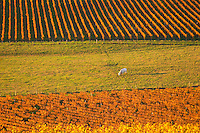 A view over the vineyards in Bergerac at Chateau Belingard in evening sunshine in autumn giving the wines a golden glow, with a cow grazing in a field Chateau Belingard Bergerac Dordogne France