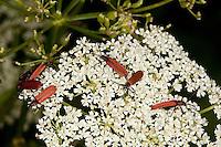 Rüssel-Rotdeckenkäfer, mehrere Käfer beim Blütenbesuch, Lygistopterus sanguineus, Rotdeckenkäfer, Rotdecken-Käfer, Lycidae
