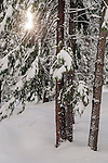 Fresh snow, sunlight, and trees in winter, Dorrington, Calaveras County, California
