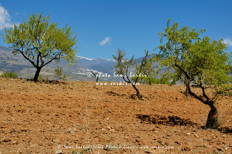 Crop of fruit trees growing amongst the Alpujarras mountains, Andalusia, Spain.