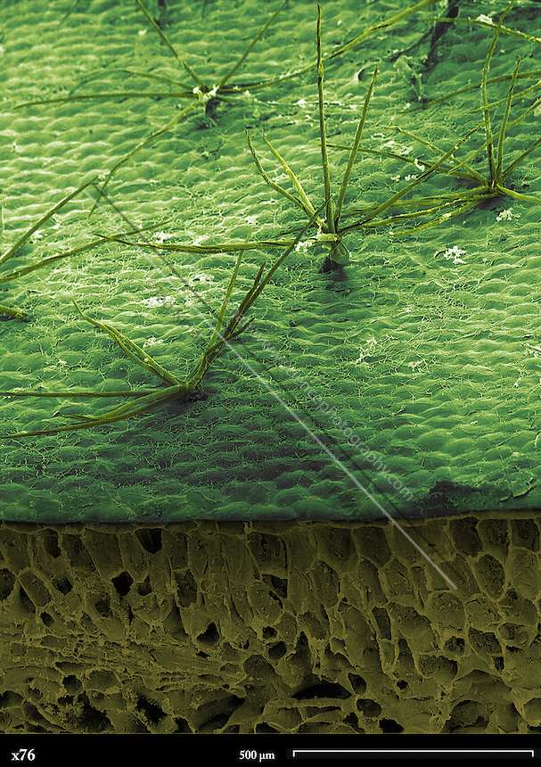 """Scanning electron microscope image of a staghorn fern leaf (Platycerium holtummii)  magnified 76x.  Staghorn ferns are epiphytic perennials or """"air"""" plants. Staghorns are native to jungles in Africa and Asia ."""