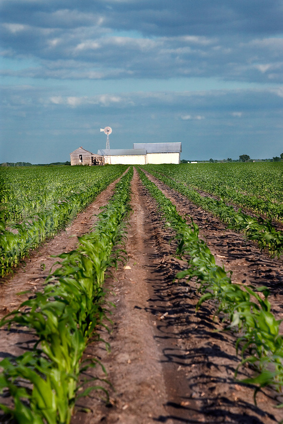 Immature rows of corn lead towards a farm house near Temple Texas in April at sunse