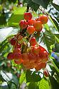 Cherry 'Merton Late', mid July. A late-season dessert cherry, orginally from Cambridgeshire, England.